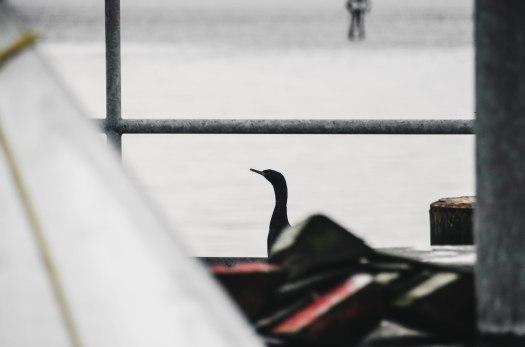 black bird, black duck, ocean life, pacific northwest wildlife @livingless.wordpress.com