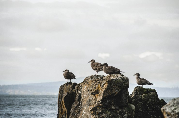 island life, pacific northwest, ocean view, sea view, san juan island, grey seagulls, birds on rock @livingless.wordpress.com