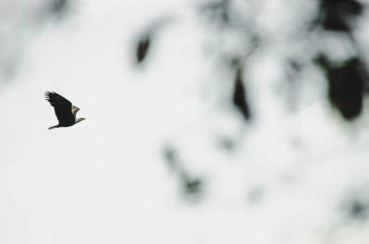 bald eagle, eagle flying, eagle, island life, pacific northwest, san juan island @livingless.wordpress.com
