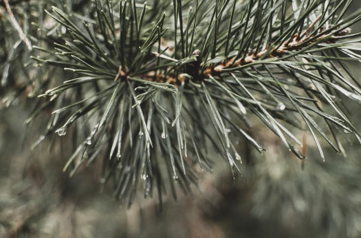 Pine needles, rain drops @livingless.wordpress.com