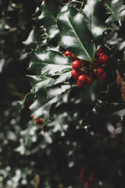 holly plant, red berry plant, christmas plant, dark green leaf plant, pacific northwest plant @livingless.wordpress.com