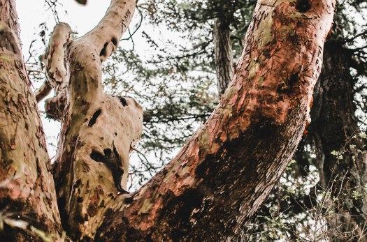 madrone tree, pacific madrone tree, shedding tree, red tree, pacific northwest tree @livingless.wordpress.com