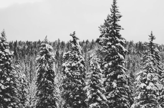 winter, evergreens, snowy trees, snow covered trees, snow @livingless.wordpress.com