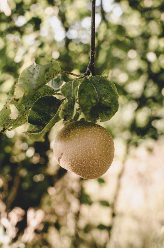 asian pear, asian pear tree, pear tree, pears, fruit trees, pacific northwest trees @livingless.wordpress.com