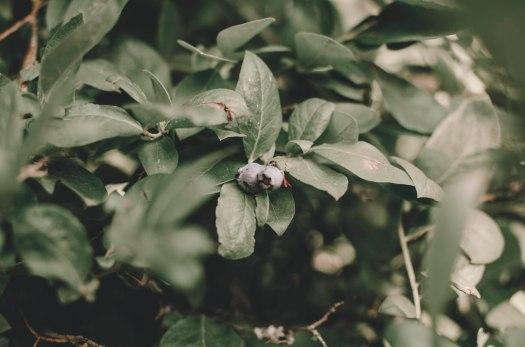 blueberries, fruit plant, blueberry, blueberry plant, pacific northwest plant @livingless.wordpress.com