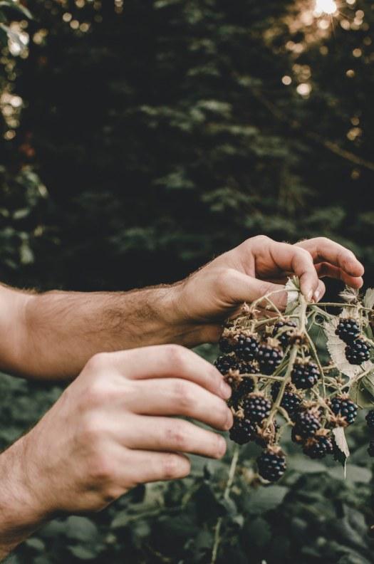 blackberry plant, blackberries, picking blackberries, pacific northwest plant @livingless.wordpress.com