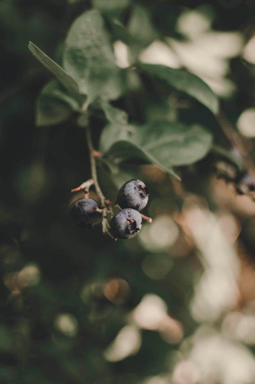 blueberry, blueberries, blueberry plant, fruit plant, pacific northwest fruit plant @livingless.wordpress.com