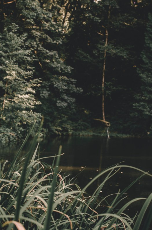cattails, tall green plant, pacific northwest plant, forest and water, forest and pond @livingless.wordpress.com